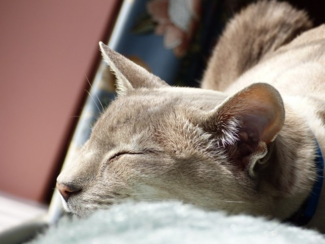 siamese-cat-sleeping-domestic-feline-tired-animal (1)