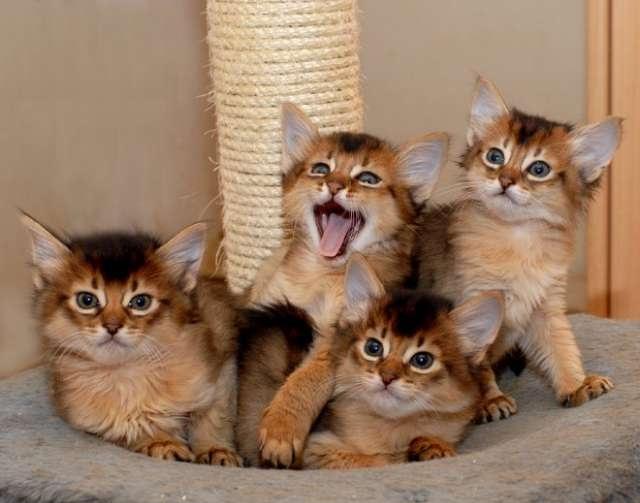 somali-cat-kittens