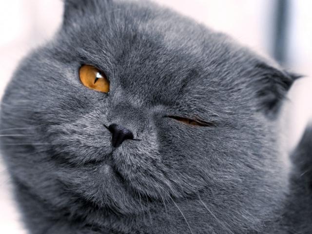 animals___cats_gray_british_winks_098962_29