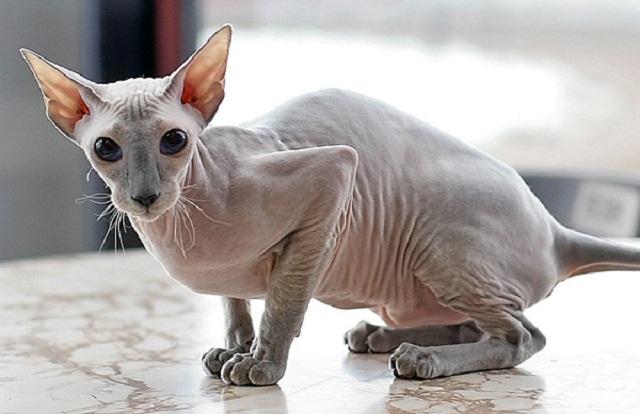 foto-kucing-peterbald-1