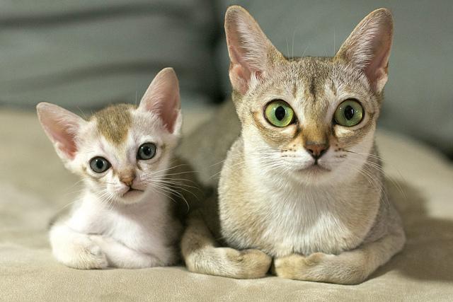 シンガプーラ猫